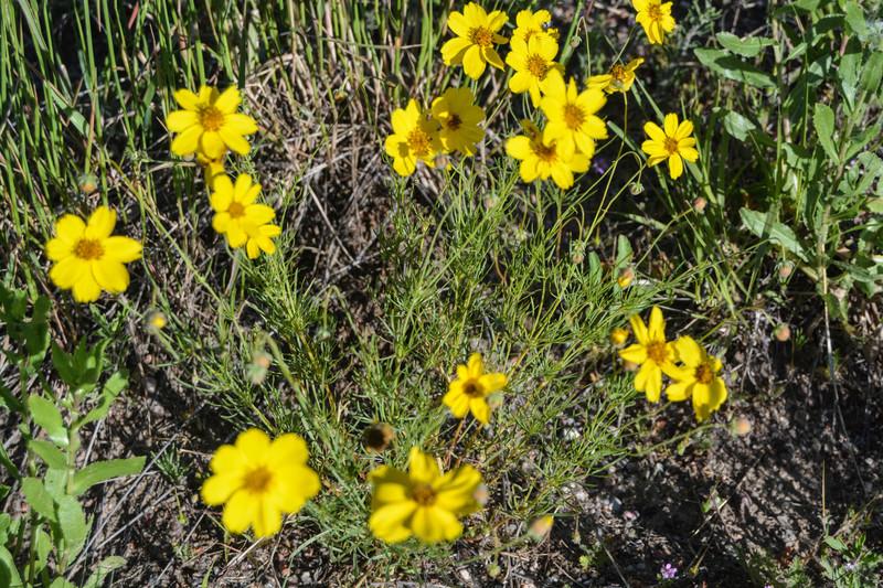 Clintnagelswebsite wildflowers of colorado yellow flowers mightylinksfo