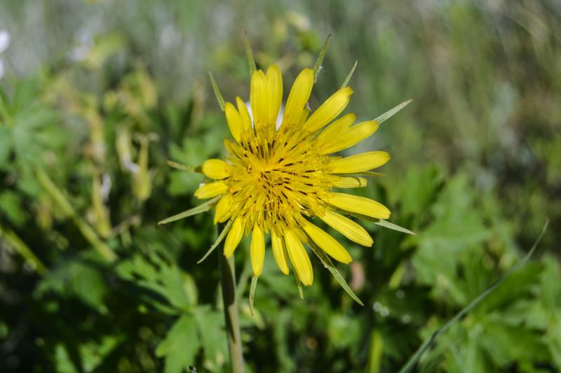 Clintnagelswebsite wildflowers of colorado yellow flowers print mightylinksfo